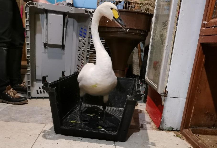 Раненого лебедя привезли на лечение в иркутскую зоогалерею