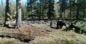Медведи попали на видео в Прибайкальском нацпарке